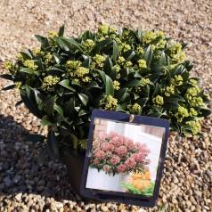 Skimmia japonica Marlot - Dværg Skimmia