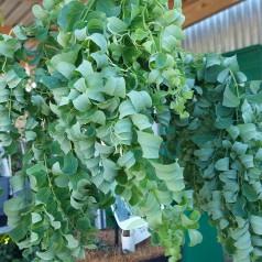Robinia pseudoacacia Lace Lady - Trold Akacie