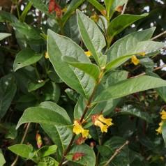 Californisk Gedeblad 50-80 cm. - Bundt med 10 stk. barrodsplanter - Lonicera ledebourii Lebo