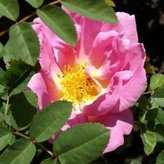 Rose Marguerite Hilling - Busk Rose / Barrods