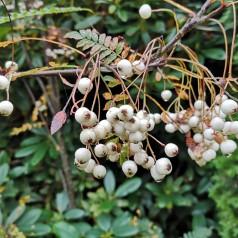 Perlerøn 30-50 cm. - Bundt med 10 barrodsplanter - Sorbus koehneana