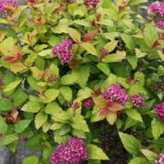 Dværg Spiræa Magic Carpet 15-20 cm. - Bund med 10 barrodsplanter - Spiraea japonica Magic Carpet