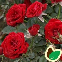 Rose Scarlet Hit / Lav Buketrose