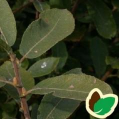 Seljepil 60-100 cm. - Bundt med 10 stk. barrodsplanter - Salix caprea