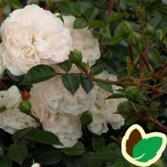 Rose Sea Foam / Bunddækkende rose