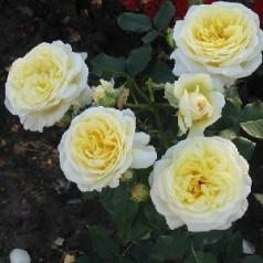 Rose Stockholm / Slotsrose