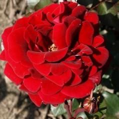 Rose That's Jazz - Slyngrose Courtyard Rambler