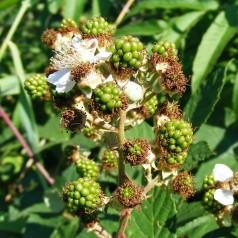 Brombær Polarberry - Hvide brombær