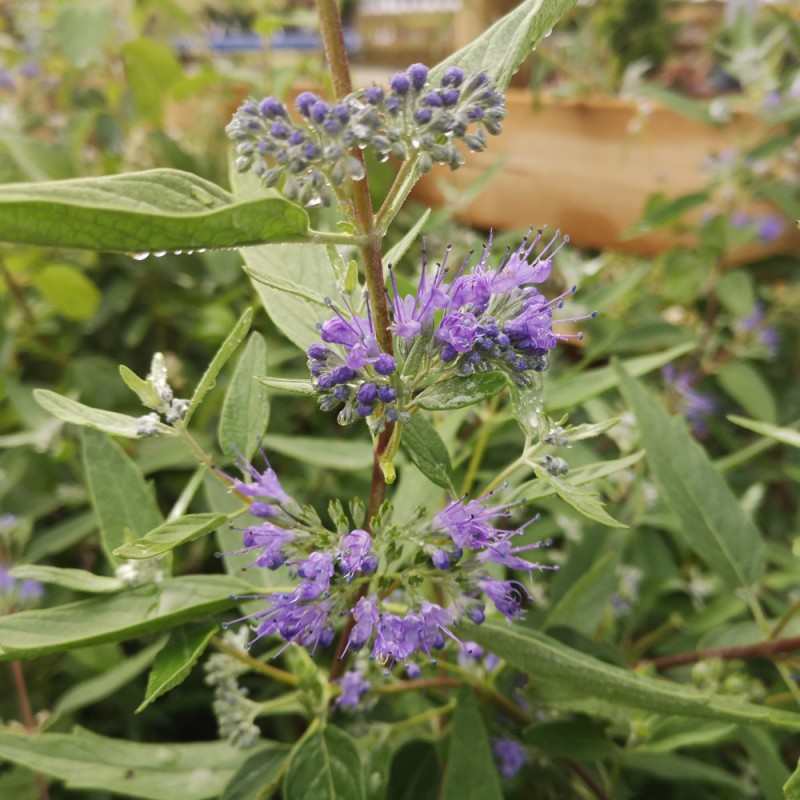 Caryopteris clandonensis Heavenly Blue / Blåskæg