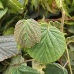 Corylopsis sinensis Spring Purple - Hasselbror