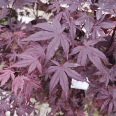 Acer palmatum Bloodgood - Japansk Løn - Japansk Ahorn / 125-150 cm.