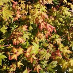 Acer palmatum Bi Hoo - Japansk Løn - Japansk Ahorn