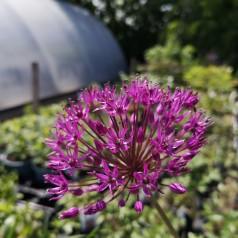 Allium millenium / Prydløg
