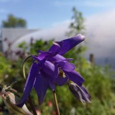Aquilegia alpina / Alpeakeleje