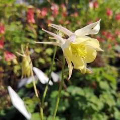 Aquilegia caerulea Springtime Magic Yellow / Akeleje