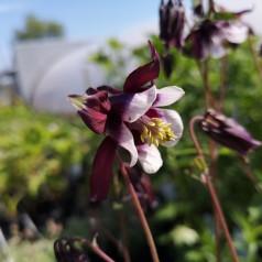 Aquilegia vulgaris William Guiness / Akeleje