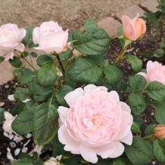 Rose Astrid Lindgren / Buketrose - Barrods