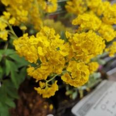 Aurinia saxatilis Goldkugel / Guldslør