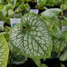 Brunnera macrophylla Jack Frost / Marmoreret Kærmindesøster