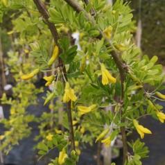 Caragana arborescens Pendula - Hænge Ærtetræ / 80 cm. stamme