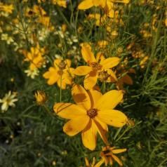 Coreopsis verticillata Grandiflora / Skønhedsøje