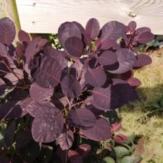 Cotinus coggygria Royal Purple / Rød Parykbusk