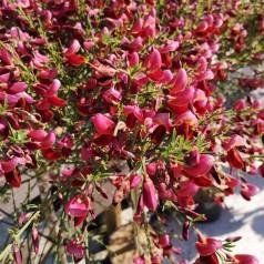 Cytisus boskoopii Windlesham Ruby - Gyvel - 80 cm. stamme