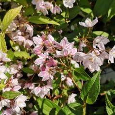 Deutzia Kalmiiflora - Stjernetop