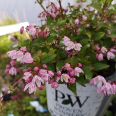 Deutzia Yuki Cherry Blossom - Lille Stjernetop