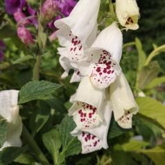Digitalis purpurea Dalmatian White - Fingerbølblomst