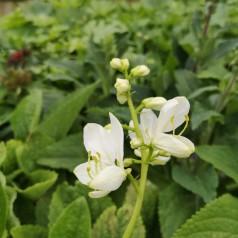 Dictamnus albus Albiflorus / Gasplante