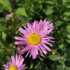 Erigeron hybrid Rosa Juwel / Bakkestjerne