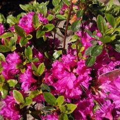 Rhododendron Geisha Purple - Japansk Azalia