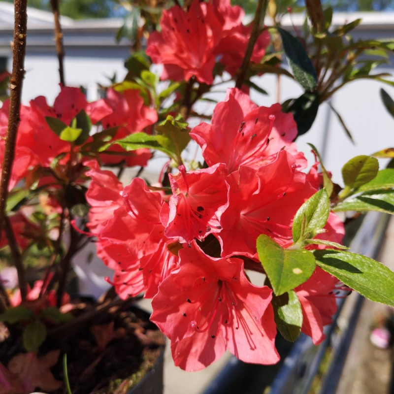 Rhododendron Geisha Orange - Japansk Azalea