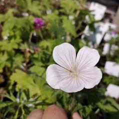Geranium clarkei kashmir White / Storkenæb
