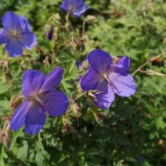 Geranium Himalayense Johnsons Blue / Storkenæb