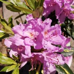 Rhododendron hybrid Goldflimmer