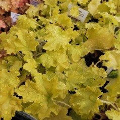 Heuchera hybrid Lime Marmalade / Alunrod