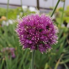 Allium senescens Medusas Hair - Prydløg