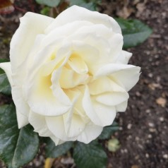 Rose La Paloma 85 - Buketrose / Barrods