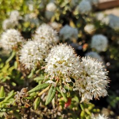 Ledum groenlandicum Helma - Grønlandsk post