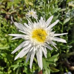 Leucanthemum superbum Christine Hagemann / Kæmpemargerit
