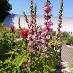 Lythrum salicaria Blush / Kattehale