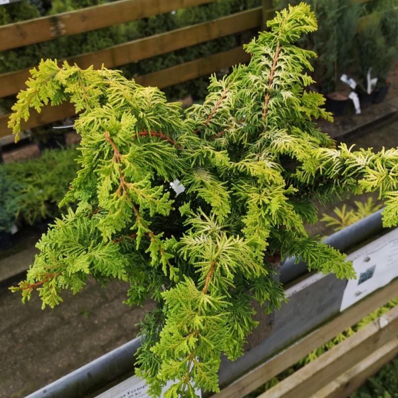Chamaecyparis obtusa Fernspray Gold - Cypres