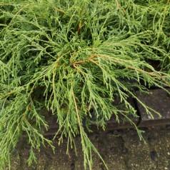 Chamaecyparis pisifera Filifera - Grøn Trådcypres