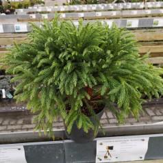 Cryptomeria japonica Globosa Nana / Kugle Kryptomeria