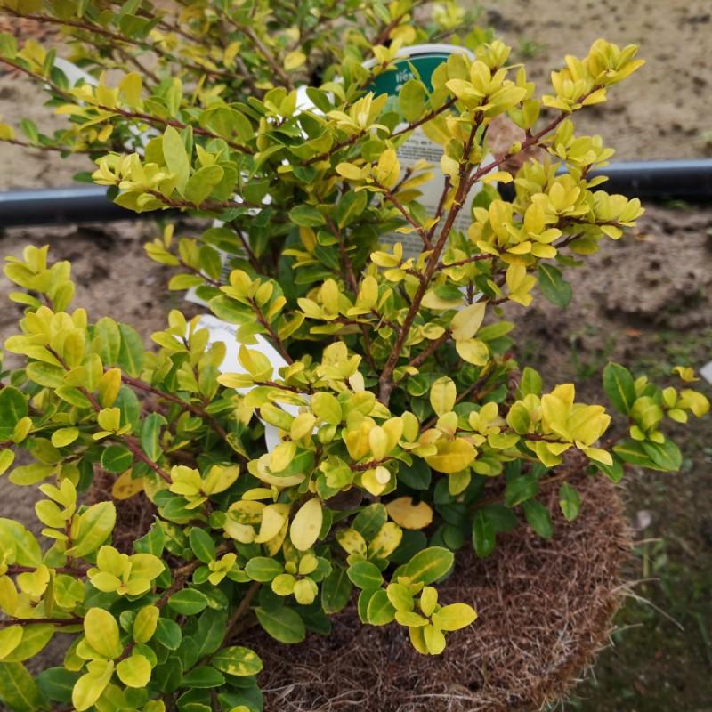 Ilex crenata Golden Gem - Kristtorn