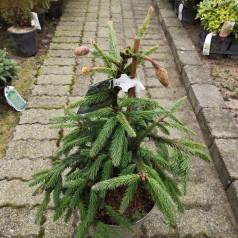 Picea abies Inversa - Hængegran