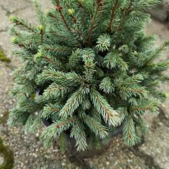 Picea glauca Echiniformis - Pindsvinegran