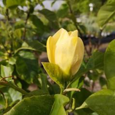 Magnolia acuminata Yellow Bird - Magnolia / 125-150 cm.